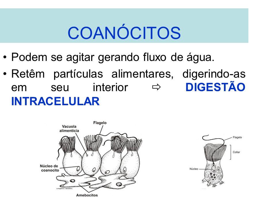 COANÓCITOS Podem se agitar gerando fluxo de água. Retêm partículas alimentares, digerindo-as em seu interior DIGESTÃO INTRACELULAR