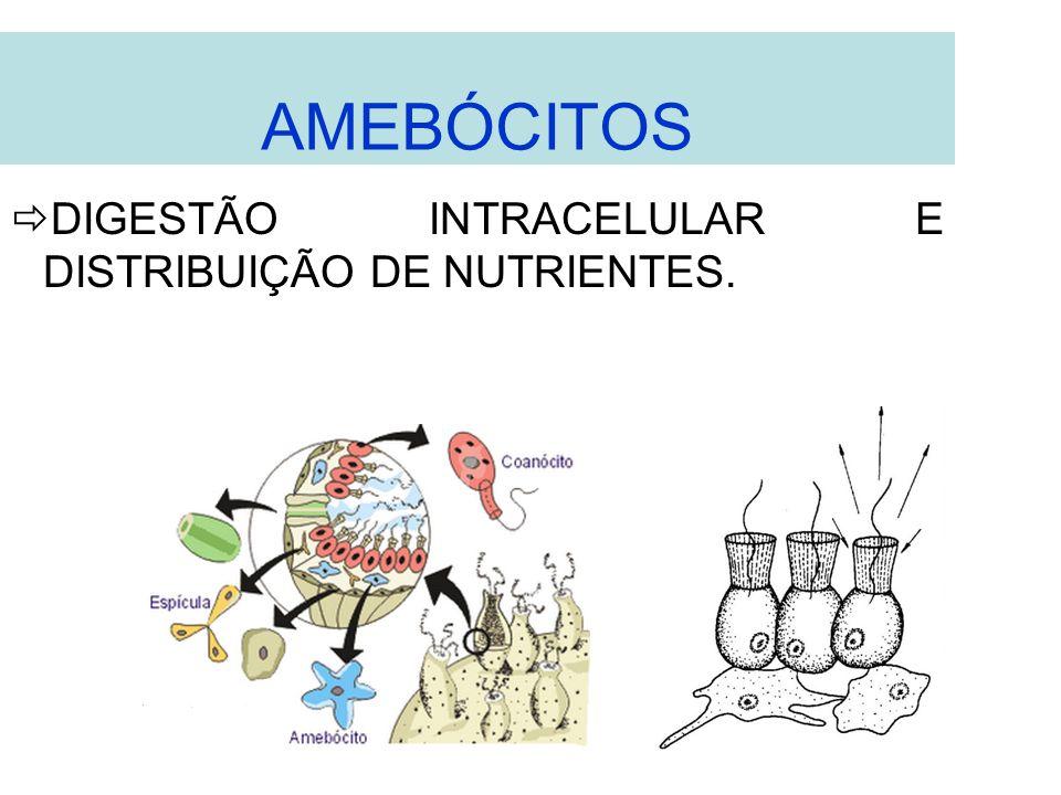 AMEBÓCITOS DIGESTÃO INTRACELULAR E DISTRIBUIÇÃO DE NUTRIENTES.