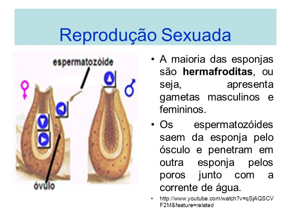 Reprodução Sexuada A maioria das esponjas são hermafroditas, ou seja, apresenta gametas masculinos e femininos. Os espermatozóides saem da esponja pel