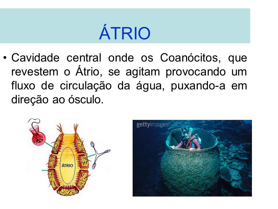 ÁTRIO Cavidade central onde os Coanócitos, que revestem o Átrio, se agitam provocando um fluxo de circulação da água, puxando-a em direção ao ósculo.