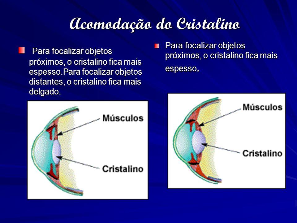 Acomodação do Cristalino Para focalizar objetos próximos, o cristalino fica mais espesso.Para focalizar objetos distantes, o cristalino fica mais delg