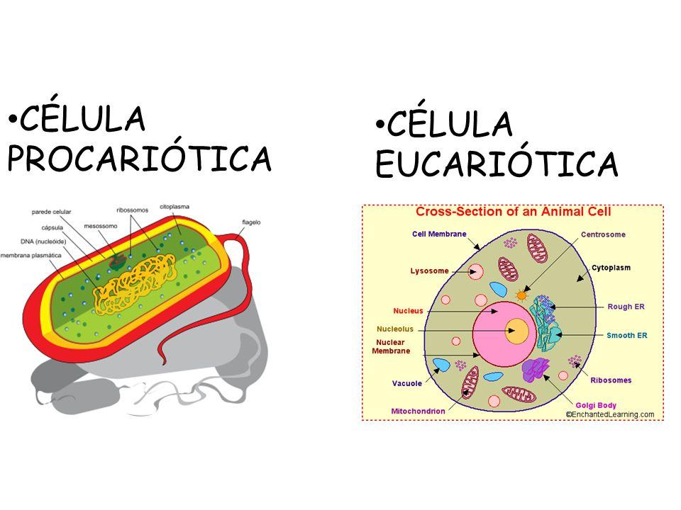 CÉLULA PROCARIÓTICA CÉLULA EUCARIÓTICA