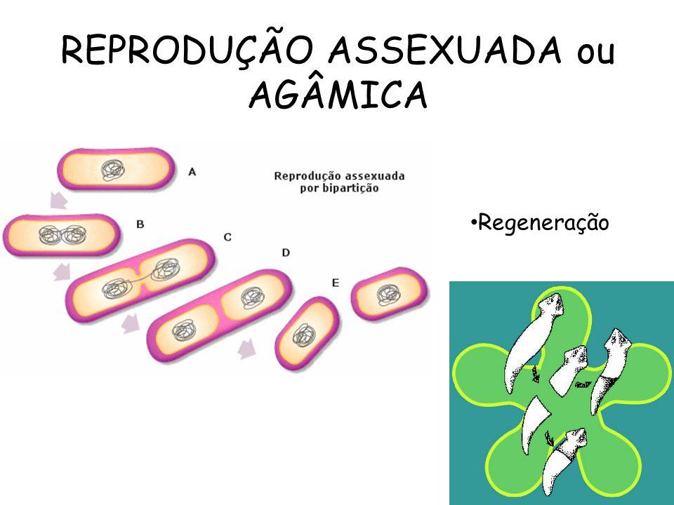 REPRODUÇÃO ASSEXUADA ou AGÂMICA Regeneração