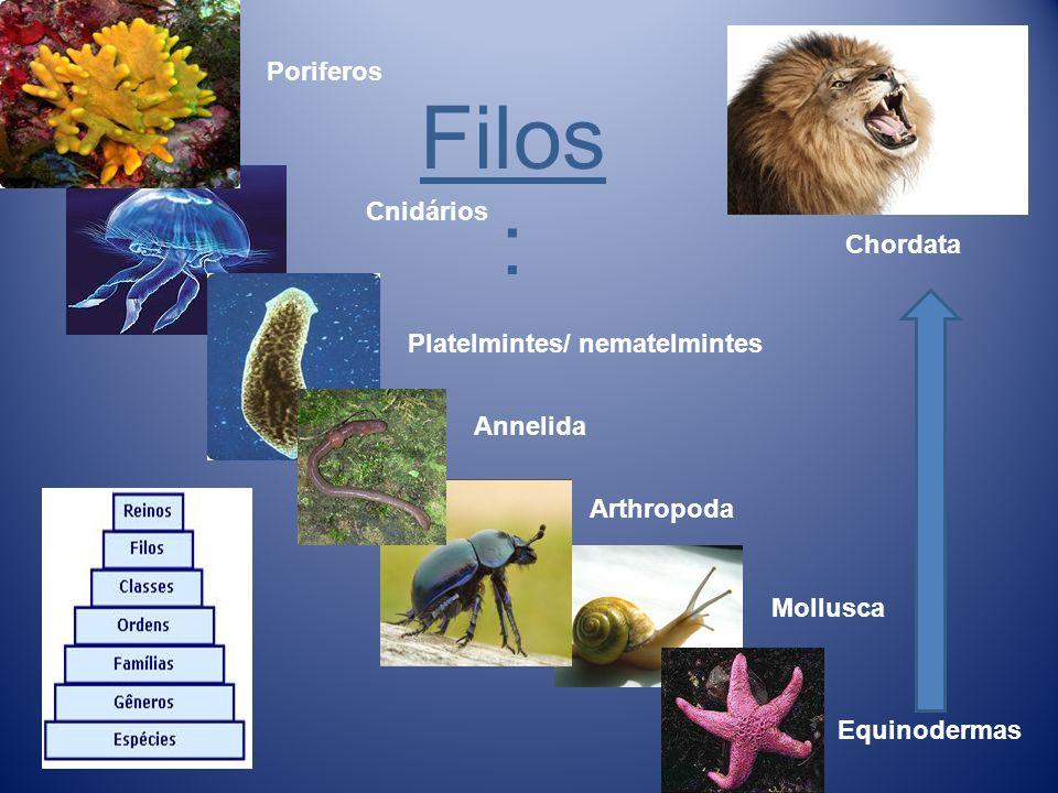 Lêucon Espongioncele menor, Parede do corpo mais desenvolvida, Camaras vibráteis (cavidades com coanócitos) Maior circulação de água e filtração.