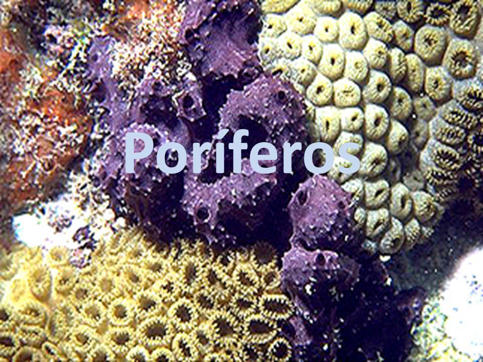 Reprodução: assexuada Brotamento ou gemulação Brotamento Formação de pequenos agregados de amebócitos, quando crescem desenvolvem pequenas esponjas que podem ser destacados do organismo original.
