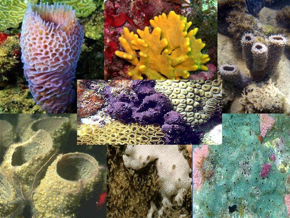 -Poríferos- São Invertebrados, assimétricos São aquáticos (marinho e água doce) Vivem fixo a substratos Não apresentam órgãos definidos Não possuem tecidos bem definidos Não apresentam sistemas.