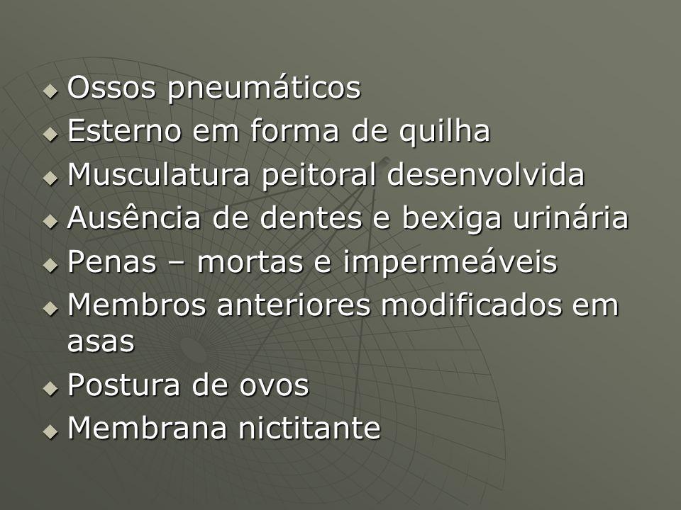 Ossos pneumáticos Ossos pneumáticos Esterno em forma de quilha Esterno em forma de quilha Musculatura peitoral desenvolvida Musculatura peitoral desen
