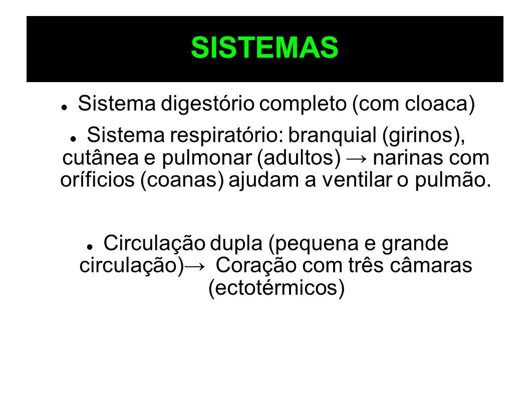 SISTEMAS Sistema digestório completo (com cloaca) Sistema respiratório: branquial (girinos), cutânea e pulmonar (adultos) narinas com oríficios (coana
