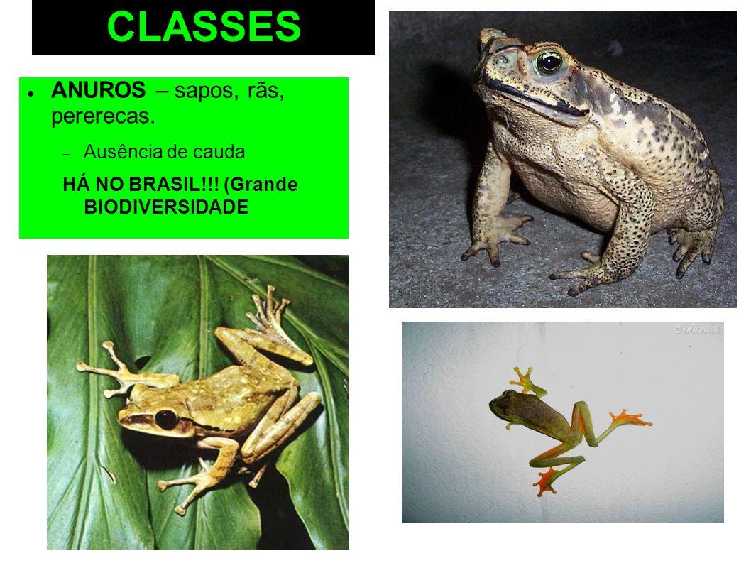 CLASSES ANUROS – sapos, rãs, pererecas. Ausência de cauda HÁ NO BRASIL!!! (Grande BIODIVERSIDADE