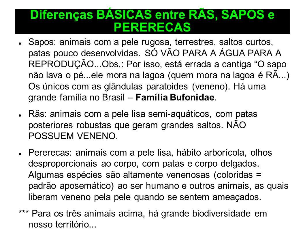 Diferenças BÁSICAS entre RÃS, SAPOS e PERERECAS Sapos: animais com a pele rugosa, terrestres, saltos curtos, patas pouco desenvolvidas. SÓ VÃO PARA A