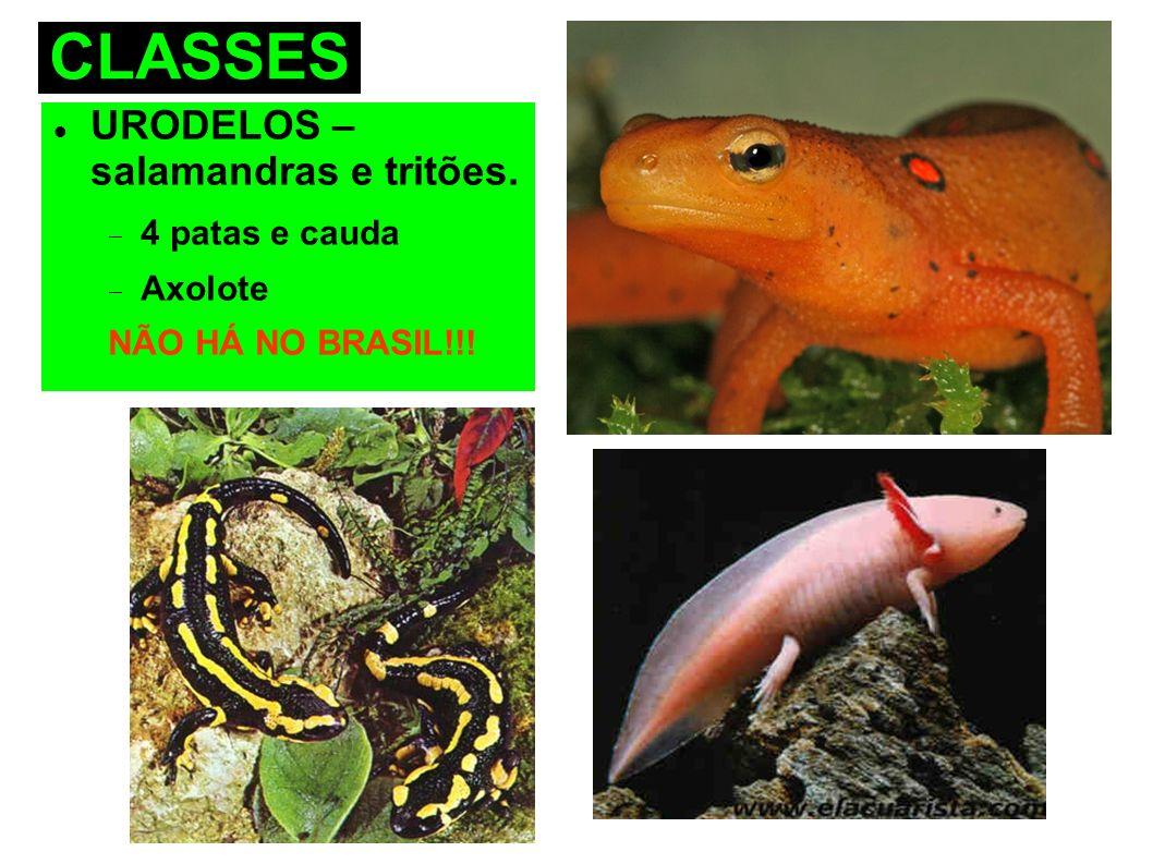 URODELOS – salamandras e tritões. 4 patas e cauda Axolote NÃO HÁ NO BRASIL!!! CLASSES