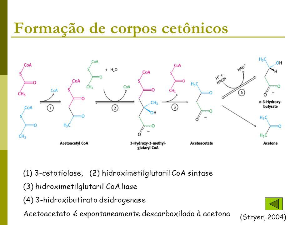 Formação de corpos cetônicos (Stryer, 2004) (1) 3-cetotiolase, (2) hidroximetilglutaril CoA sintase (3) hidroximetilglutaril CoA liase (4) 3-hidroxibu