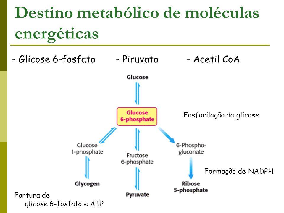 - Glicose 6-fosfato - Piruvato - Acetil CoA Destino metabólico de moléculas energéticas Fartura de glicose 6-fosfato e ATP Fosforilação da glicose For