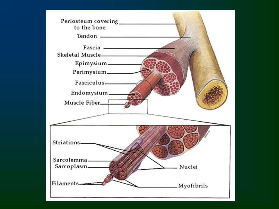 Filamento fino Filamento espeso Proteína da linha M: miomesina Proteína disco Z: actinina Complexo Troponina