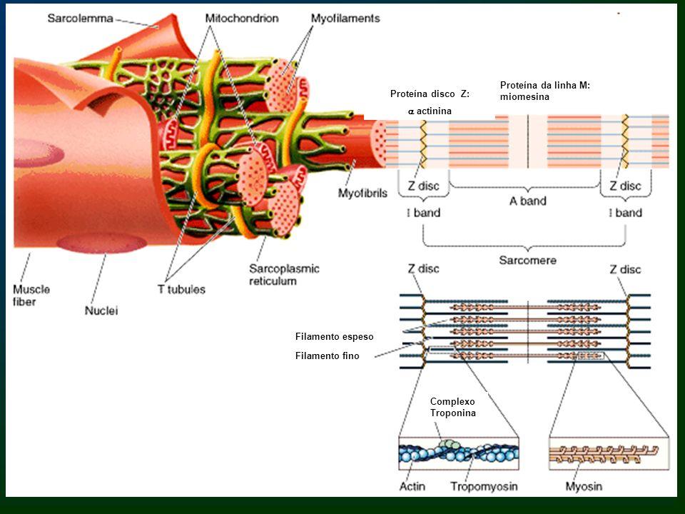 Teoria do deslizamento: os filamentos finos deslizam entre os filamentos grossos no sentido da zona H.