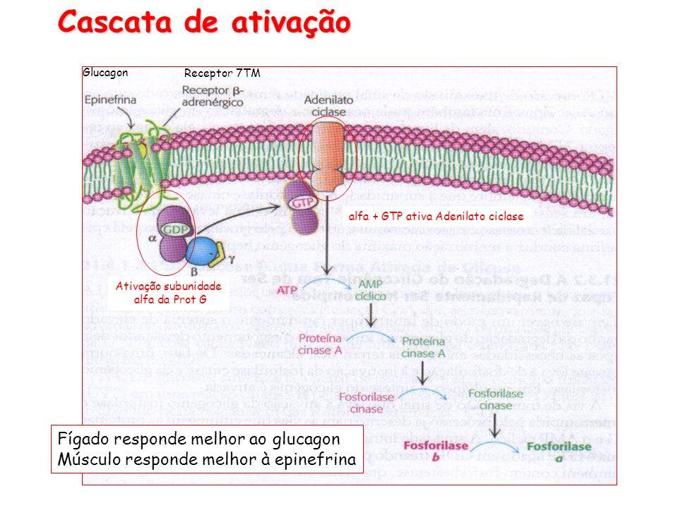 Cascata de ativação Fígado responde melhor ao glucagon Músculo responde melhor à epinefrina Ativação subunidade alfa da Prot G alfa + GTP ativa Adenil