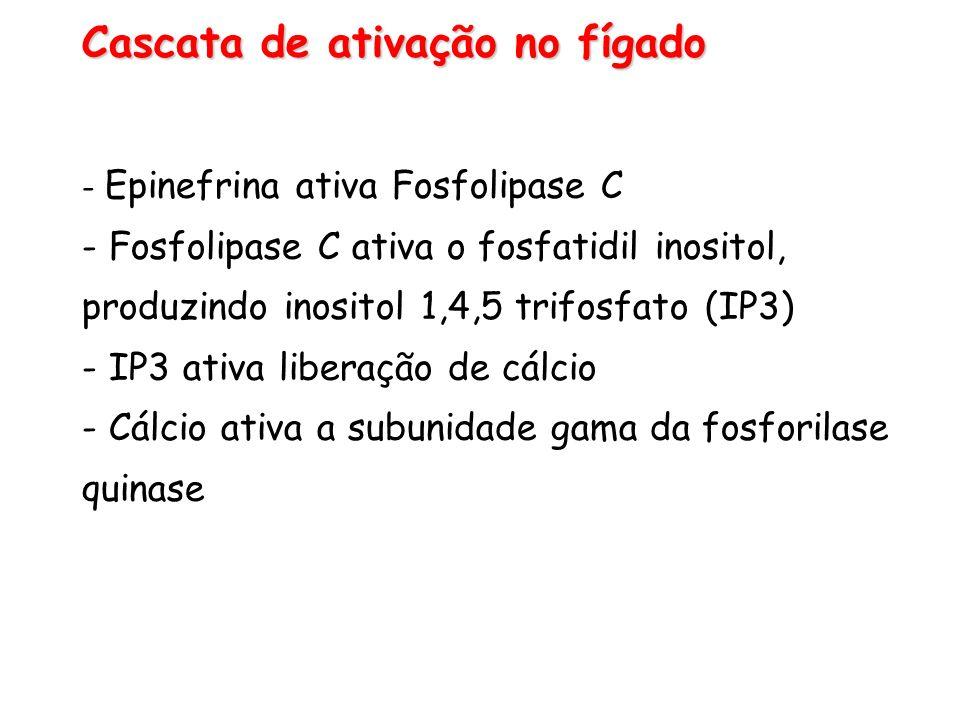 Cascata de ativação no fígado - Epinefrina ativa Fosfolipase C - Fosfolipase C ativa o fosfatidil inositol, produzindo inositol 1,4,5 trifosfato (IP3)