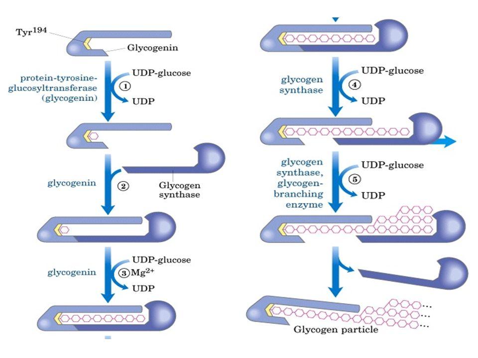 GLICOGENINA Enzima (dímero) possui um resíduo de tirosina onde se liga um resíduo de UDP glicose que inicia a síntese de glicogênio (catalisada pela s