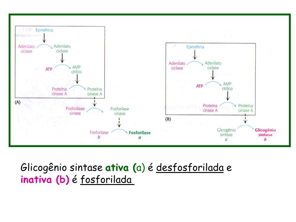 ativa ( Glicogênio sintase ativa (a) é desfosforilada e inativa (b) é fosforilada