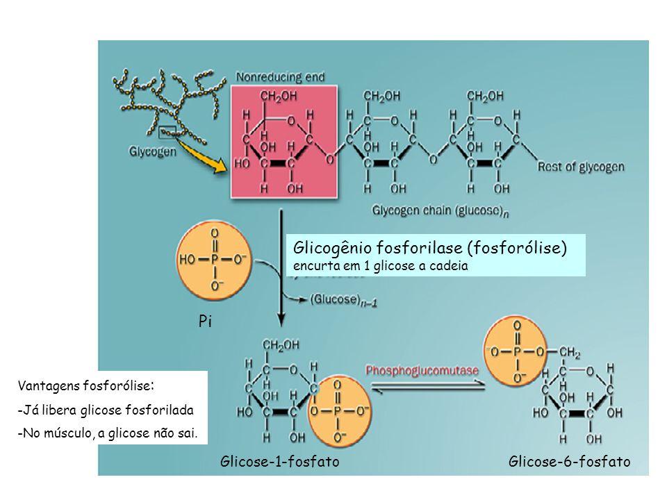 Glicose-1-fosfato Pi Glicose-6-fosfato Glicogênio fosforilase (fosforólise) encurta em 1 glicose a cadeia Vantagens fosforólise : -Já libera glicose f