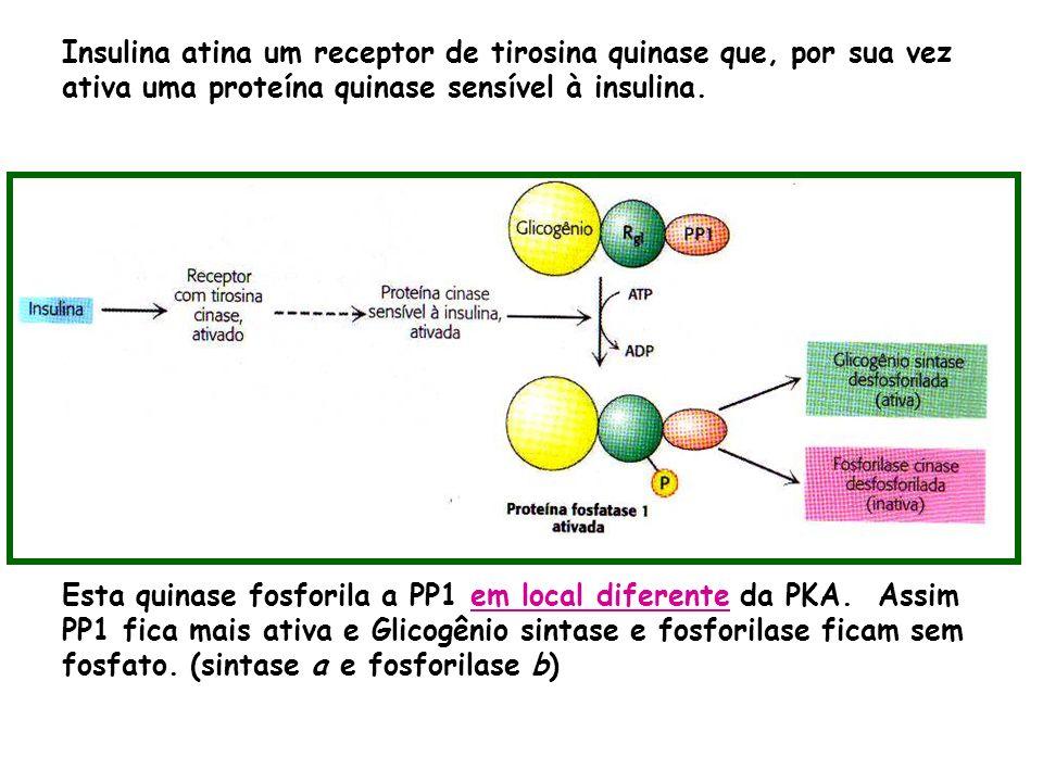Insulina atina um receptor de tirosina quinase que, por sua vez ativa uma proteína quinase sensível à insulina. Esta quinase fosforila a PP1 em local