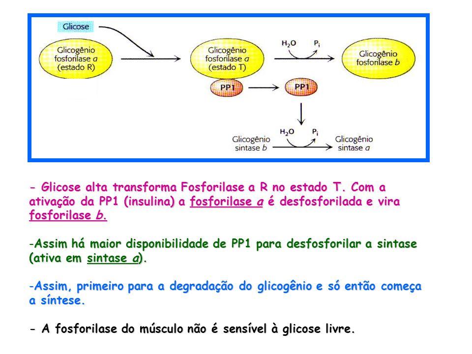 - Glicose alta transforma Fosforilase a R no estado T. Com a ativação da PP1 (insulina) a fosforilase a é desfosforilada e vira fosforilase b. -Assim