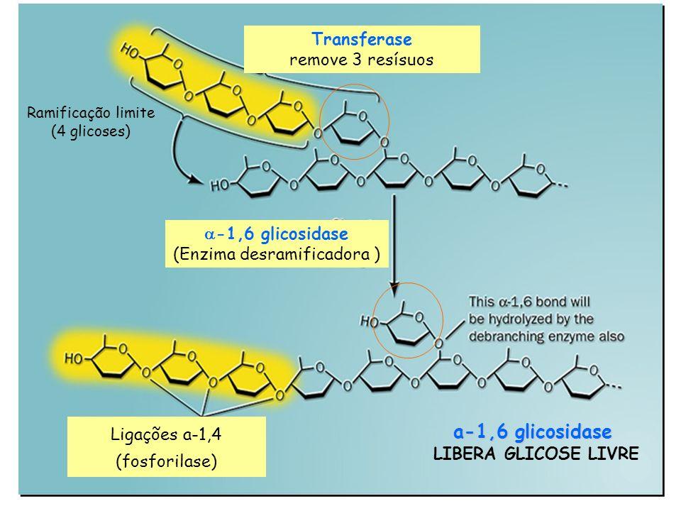 Transferase remove 3 resísuos -1,6 glicosidase (Enzima desramificadora ) Ligações a-1,4 (fosforilase) Ramificação limite (4 glicoses) a-1,6 glicosidas
