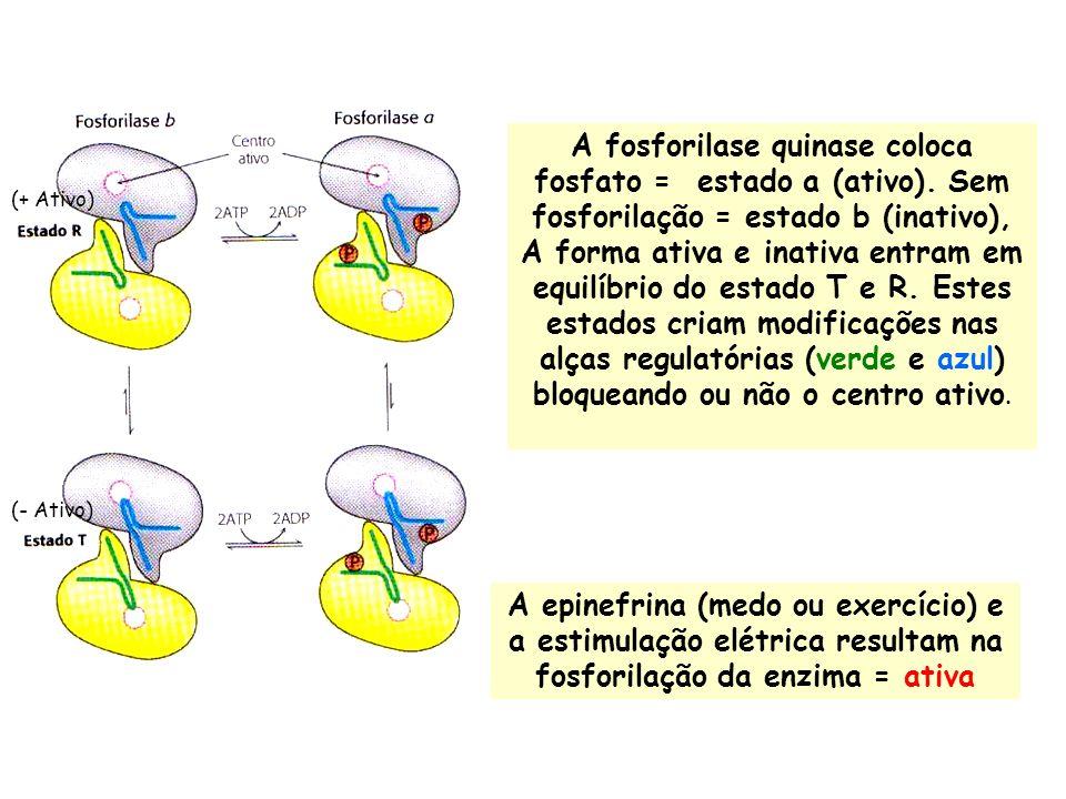 A fosforilase quinase coloca fosfato = estado a (ativo). Sem fosforilação = estado b (inativo), A forma ativa e inativa entram em equilíbrio do estado