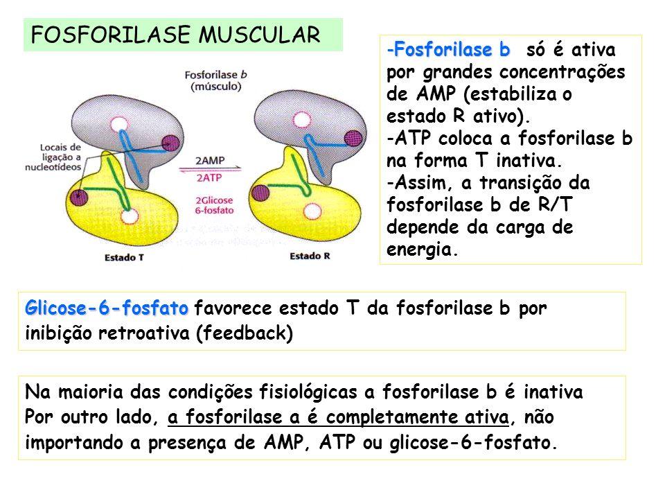 FOSFORILASE MUSCULAR Glicose-6-fosfato Glicose-6-fosfato favorece estado T da fosforilase b por inibição retroativa (feedback) -Fosforilase b -Fosfori
