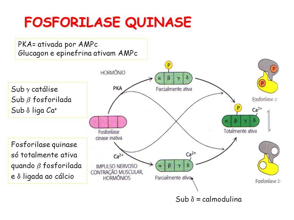 FOSFORILASE QUINASE PKA= ativada por AMPc Glucagon e epinefrina ativam AMPc Sub calmodulina Sub catálise Sub fosforilada Sub liga Ca + Fosforilase qui
