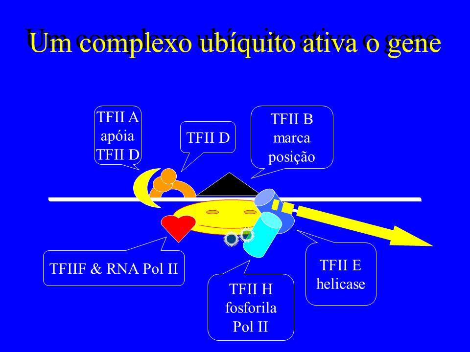 O controle do Gene é conhecido Região controladora –o promotor, que posiciona a RNA polimerase –o acentuador, que afasta o gene da heterocromatina As