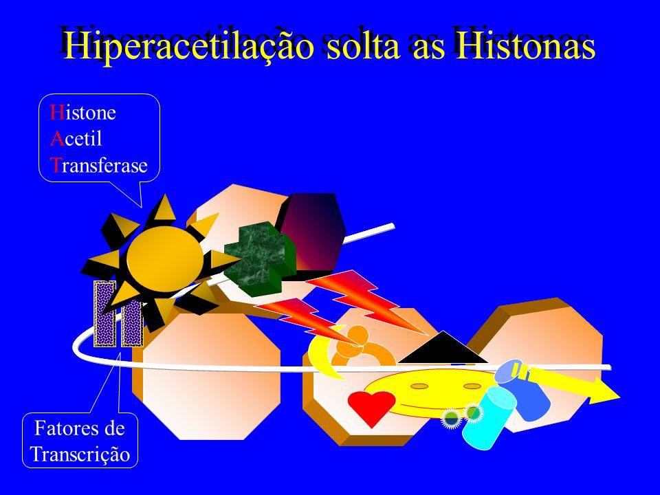 Hiperacetilação solta as Histonas Histone Acetil Transferase Fatores de Transcrição