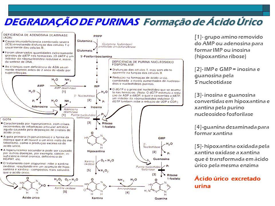 DEGRADAÇÃO DE PURINAS Formação de Ácido Úrico [ 1]- grupo amino removido do AMP ou adenosina para formar IMP ou inosina (hipoxantina ribose) [2]- IMP