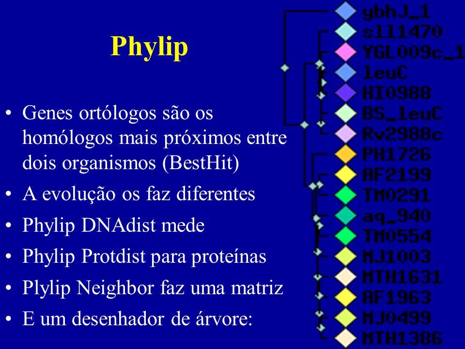 Genes ortólogos são os homólogos mais próximos entre dois organismos (BestHit) A evolução os faz diferentes Phylip DNAdist mede Phylip Protdist para proteínas Plylip Neighbor faz uma matriz E um desenhador de árvore: Phylip