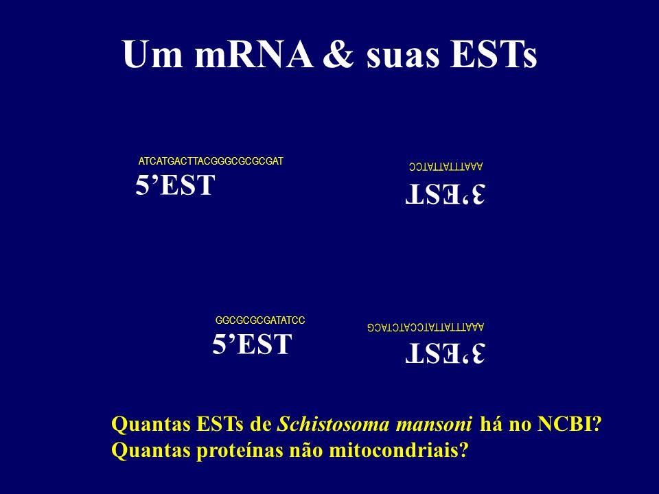 Um mRNA & suas ESTs (A) 20 0 (T) 18 cDNA (fita -) AUG (A) 18 cDNA (fita +) (A) 20 0 (T) 18 cDNA (fita -) AUG (A) 18 cDNA (fita +) ATG ATCATGACTTACGGGCGCGCGAT GGCGCGCGATATCC A A A T T T A T T A T C C 3EST 5EST A A A T T T A T T A T C C A T C T A C G Quantas ESTs de Schistosoma mansoni há no NCBI.