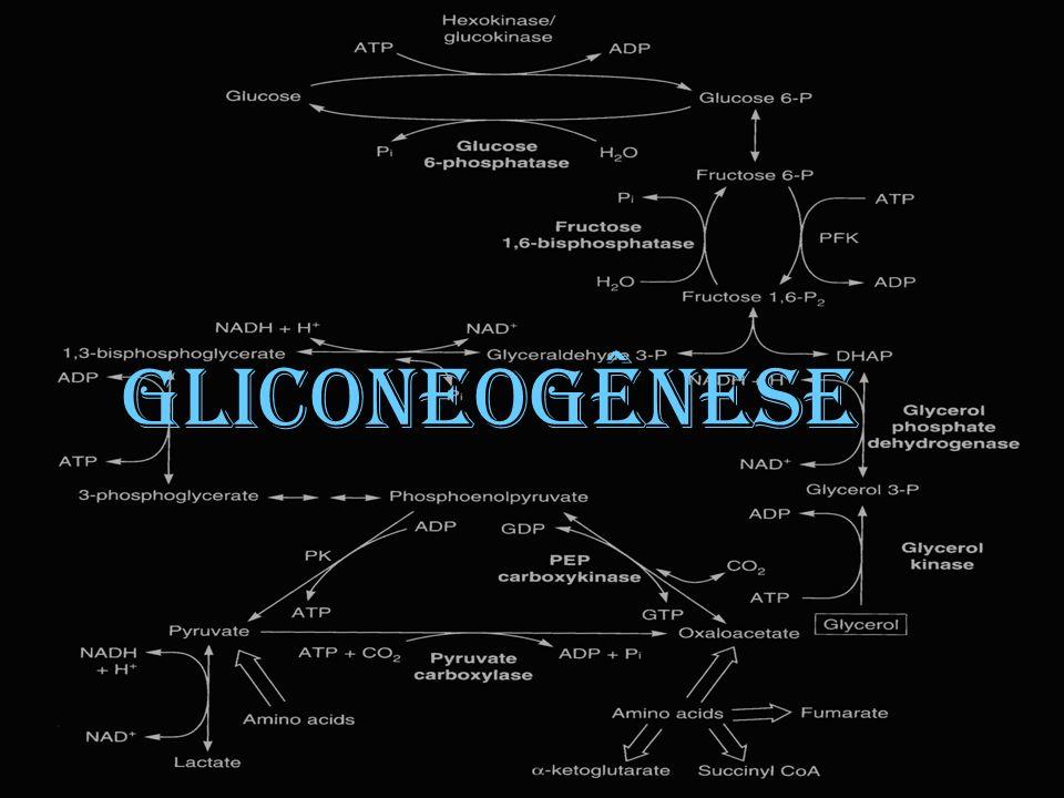 Gliconeogênese