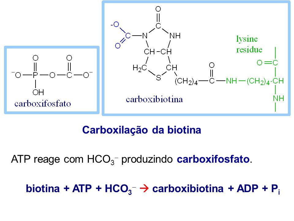 Carboxilação da biotina ATP reage com HCO 3 produzindo carboxifosfato. biotina + ATP + HCO 3 carboxibiotina + ADP + P i