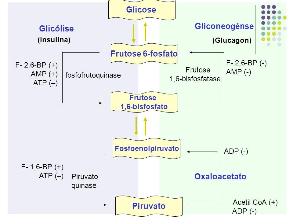 Glicose Frutose 6-fosfato Frutose 1,6-bisfosfato Fosfoenolpiruvato Piruvato Glicólise Gliconeogênse fosfofrutoquinase Frutose 1,6-bisfosfatase Oxaloac