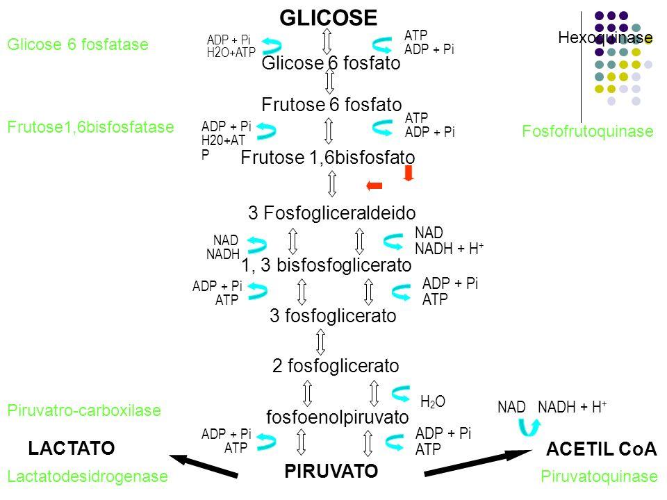 GLICOSE 2 fosfoglicerato PIRUVATO ADP + Pi ATP ADP + Pi ATP NAD NADH ATP ADP + Pi Glicose 6 fosfato Hexoquinase Frutose 6 fosfato ATP ADP + Pi Frutose