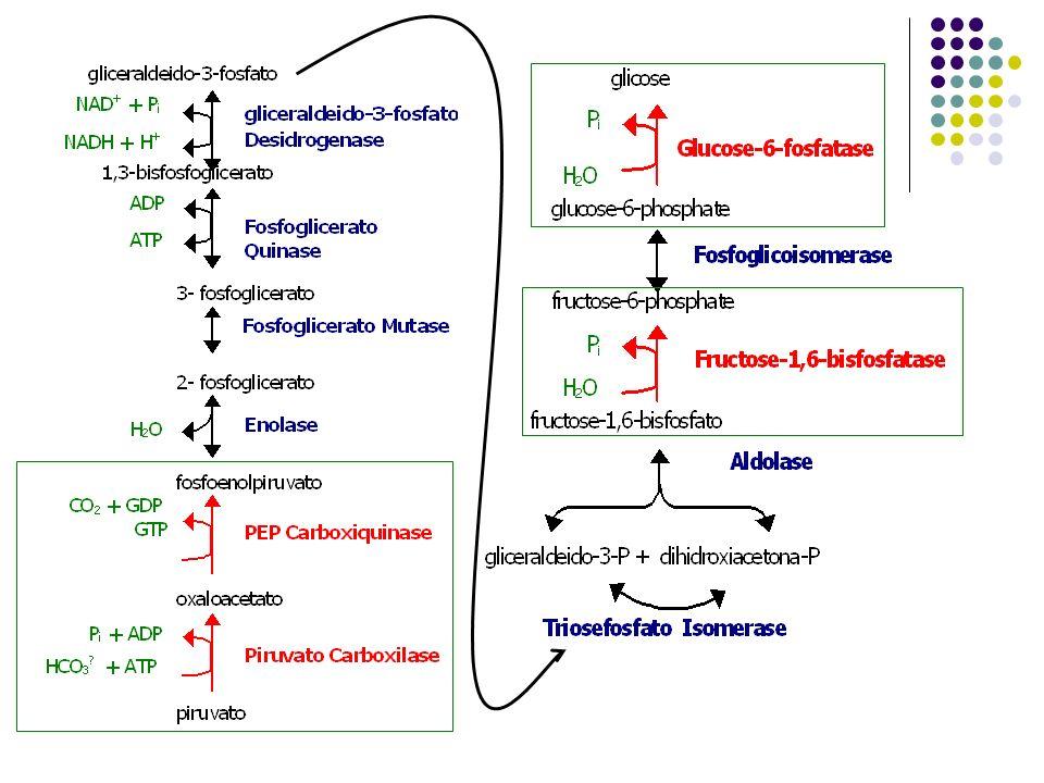 Piruvato Carboxilase (Gliconeogênese) catalisa: piruvato + HCO 3 + ATP oxaloacetato + ADP + P i PEP Carboxiquinase (Gliconeogênese) catalisa: oxaloacetato + GTP PEP + GDP + CO 2