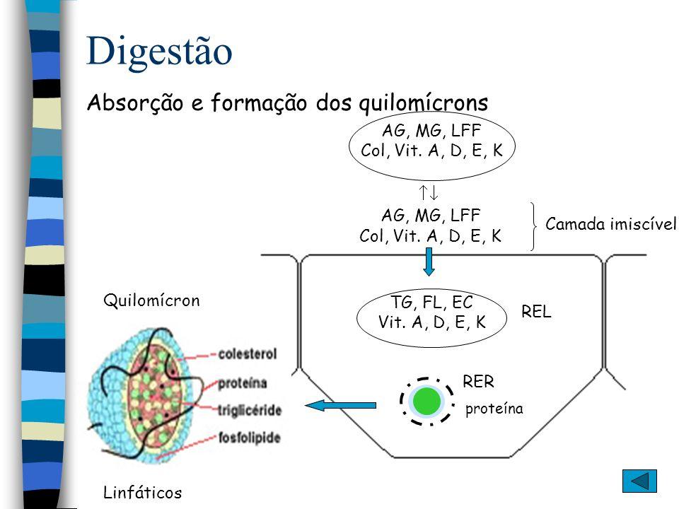 Digestão Síntese de lipídeos complexos no intestino delgado Ácido graxo + CoASH + ATP Acil-S-CoA de lipídeo + H 2 O + AMP + PP AcilCoA sintase Glicerofosfato aciltransferase 2 Acil-S-CoA de lipídeo 2 CoASH Ácido fosfatídico -glicerolfosfato Fosfatidato fosfo-hidrolase Pi Acil-S-CoA CoASH Diacilglicerol Triacilglicerol Diacilglicerol aciltrasferase