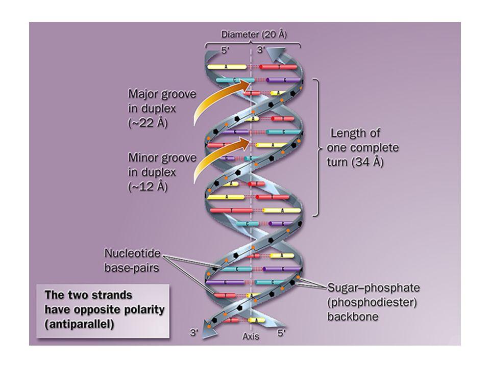 Síntese de DNA procarioto Processo semiconservador: Separação das fitas antiparalelas e cada uma serve como molde para o novo DNA.