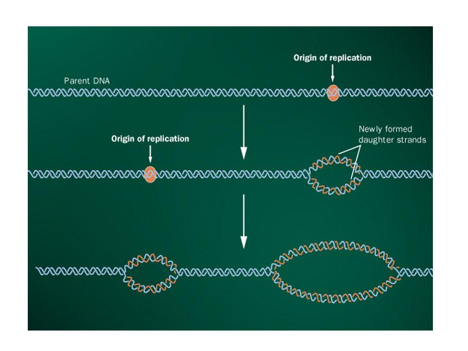 Origem replicação. DnaA liga-se a seqüências ricas em bases AT. Origem replicação