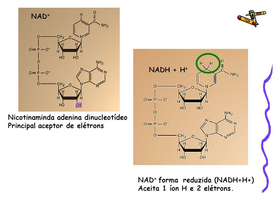 NAD + Nicotinaminda adenina dinucleotídeo Principal aceptor de elétrons NADH + H + NAD + forma reduzida (NADH+H+) Aceita 1 íon H e 2 elétrons.