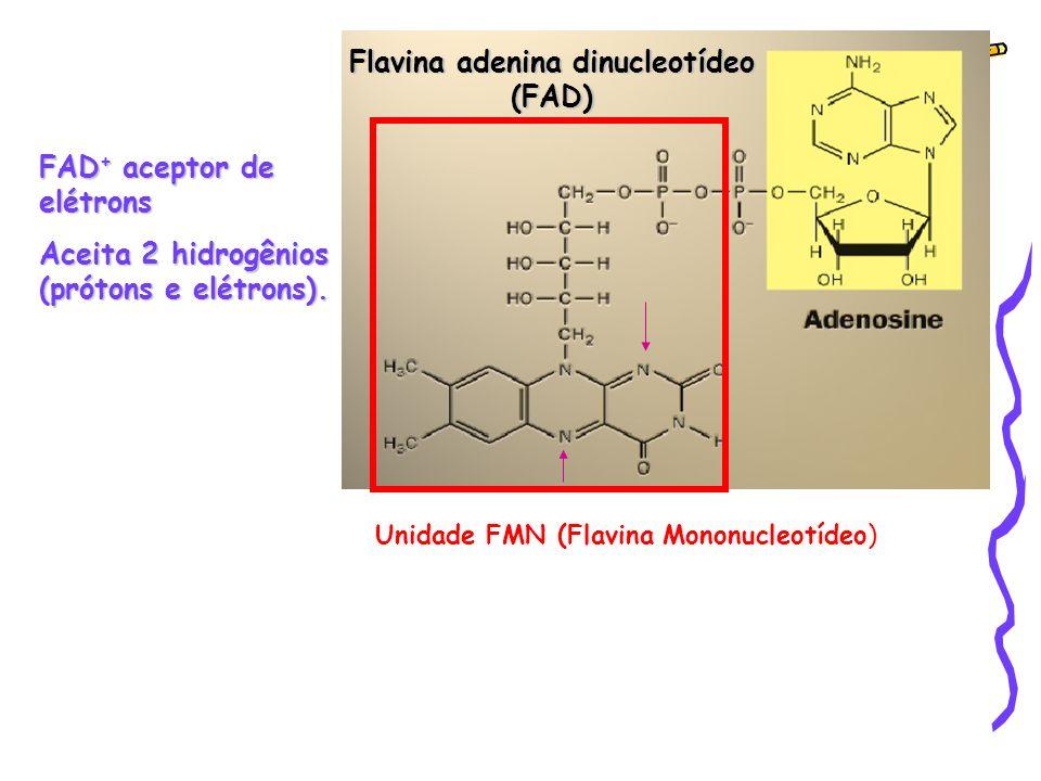 Flavina adenina dinucleotídeo (FAD) FAD + aceptor de elétrons Aceita 2 hidrogênios (prótons e elétrons).
