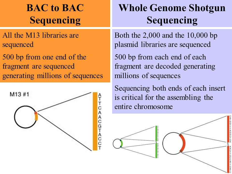 BAC to BAC Sequencing Whole Genome Shotgun Sequencing Each BAC is then broken randomly into 1,500 bp pieces and placed in another artificial piece of