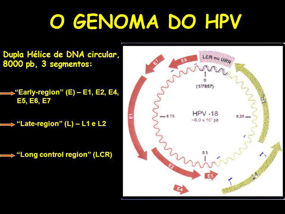 O GENOMA DO HPV Dupla Hélice de DNA circular, 8000 pb, 3 segmentos: Early-region (E) – E1, E2, E4, E5, E6, E7 Late-region (L) – L1 e L2 Long control region (LCR)