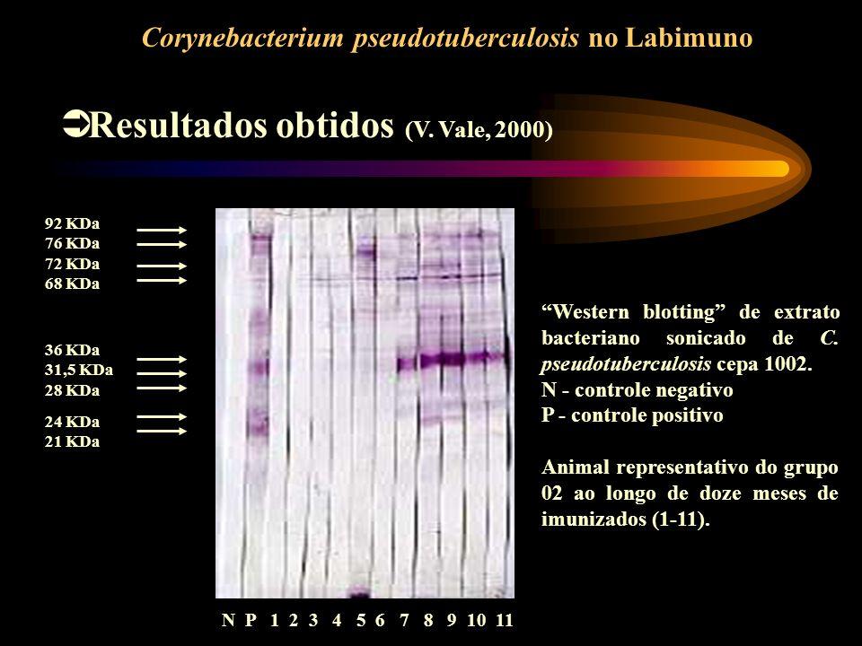 92 KDa 76 KDa 72 KDa 68 KDa 36 KDa 31,5 KDa 28 KDa 24 KDa 21 KDa N P 1 2 3 4 5 6 7 8 9 10 11 Resultados obtidos (V. Vale, 2000) Corynebacterium pseudo