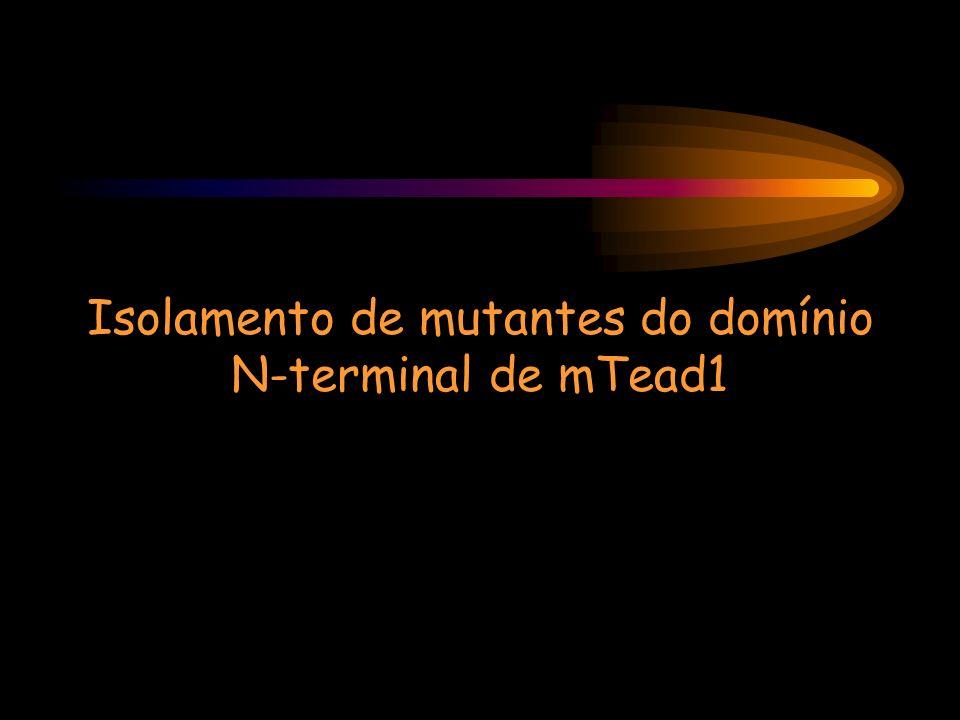 Isolamento de mutantes do domínio N-terminal de mTead1