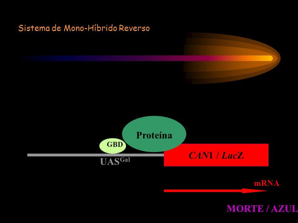 Sistema de Mono-Híbrido Reverso mRNA CAN1 / LacZ UAS Gal Proteína GBD MORTE / AZUL